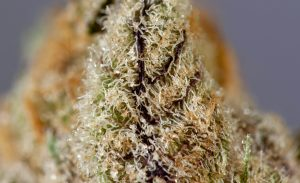 The purple, green, a shimmer of trichomes make Blue Lime Pie from Skord a treat for the senses.